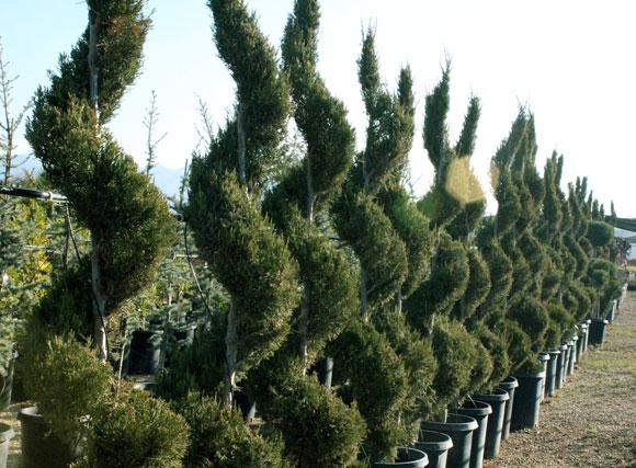 Topiary Green Hills Nursery